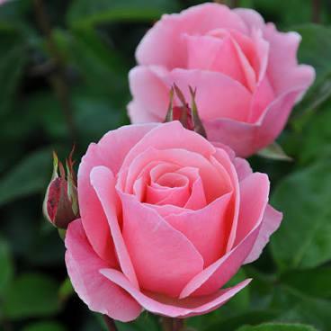 rosier_connu-Queen_Elizabeth.jpg